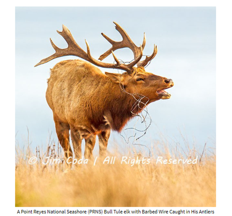 Name:  Tule Elk Jim Coda.png