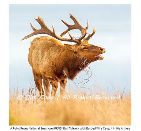 Name:  Tule Elk Jim Coda.png Views: 71 Size:  286.1 KB