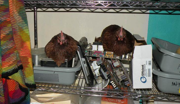 Name:  DSCN6023_Chickens_E-Cycle2--.jpg Views: 814 Size:  61.4 KB