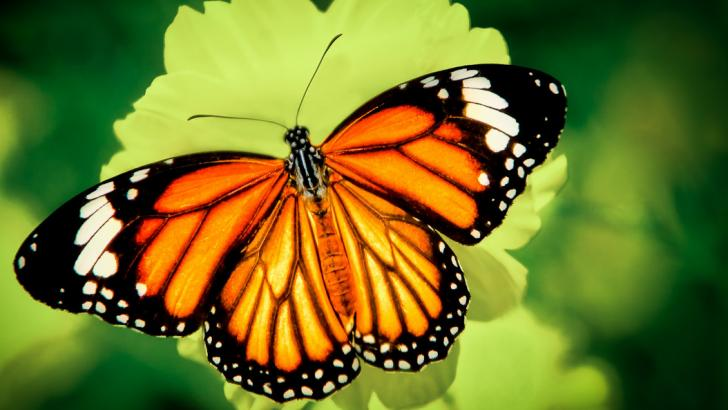 Name:  Tiger Butterfly-cropped.jpg Views: 693 Size:  42.6 KB